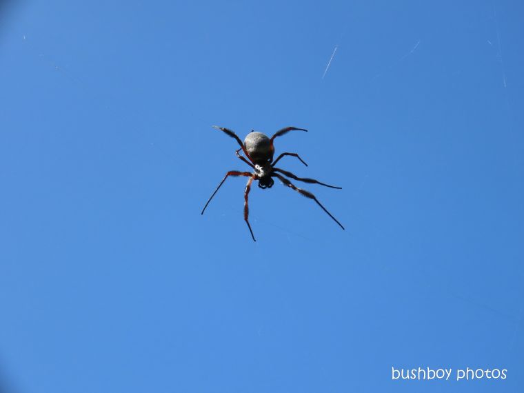spider_golden orb weaver_sky__named_durranbah_home_jackadgery_march 2020