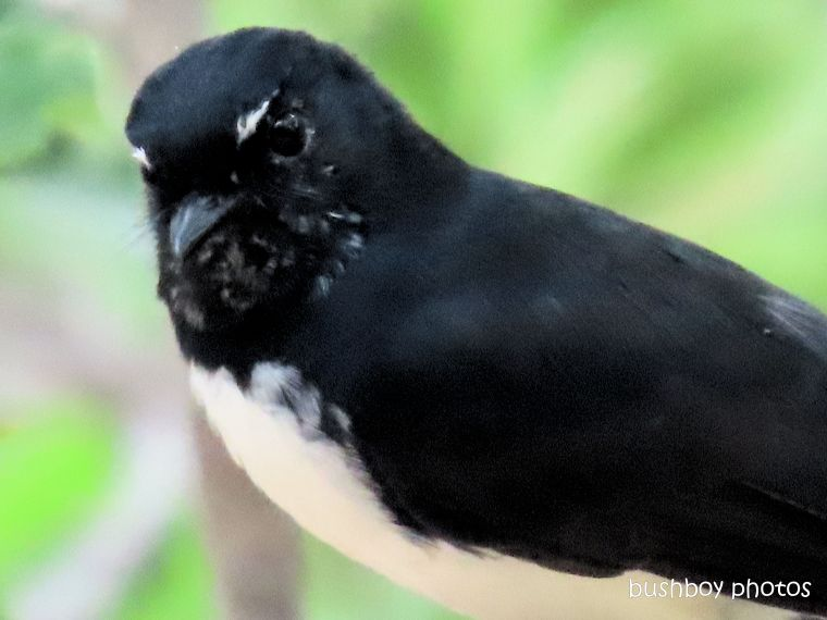 willie wagtail_close_named_home_jackadgery_march 2020