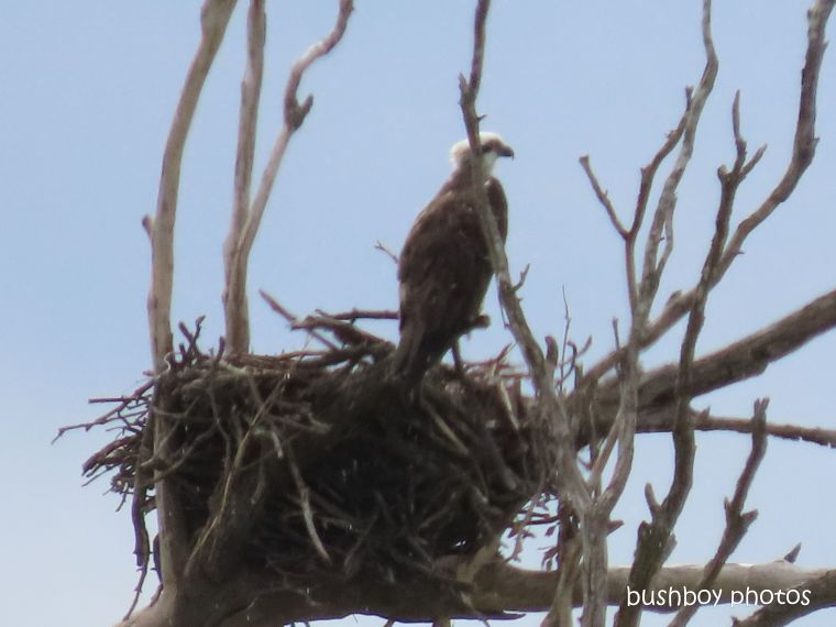 20200430_last on the card_white bellied sea eagle_nest_lilydale