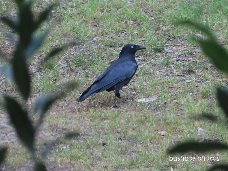 20200515_blog challenge_corvid 2020_australian raven_home