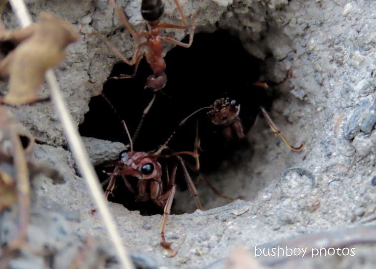 20200518_blog challenge_macro_monday_bullant_nest