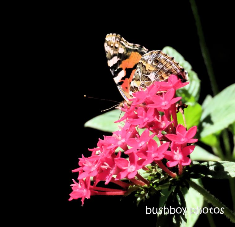 australian painted lady_butterfly_pentas_garden_durranbah_named_home_jackadgery_april 2020
