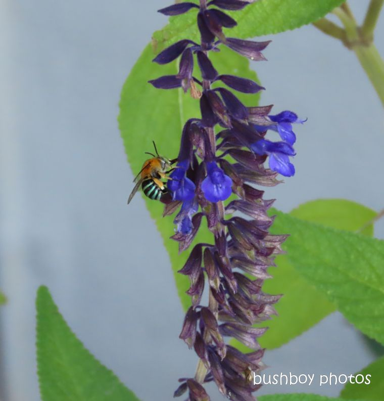 bee_blue banded_salvia_garden_named_caniaba_april 2020