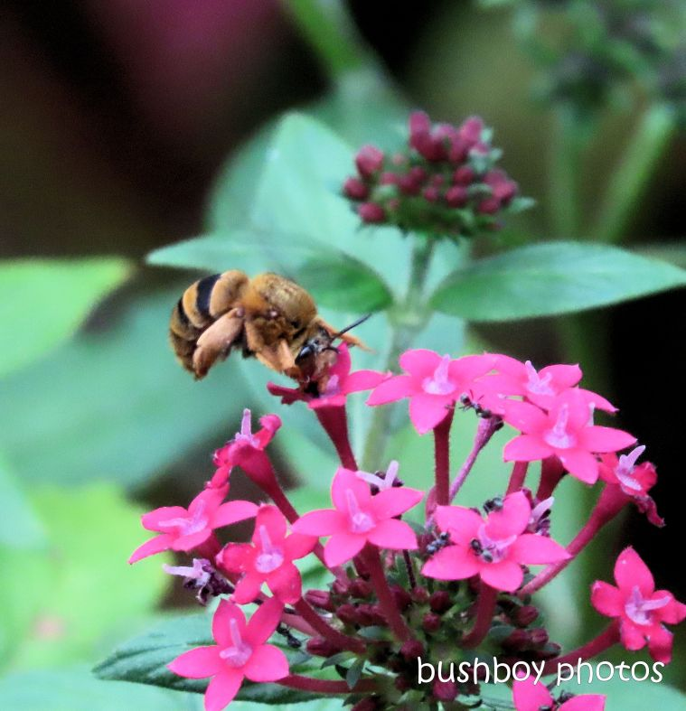 bee_teddy bear_pentas_flower_garden_named_home_jackadgery_april 2020