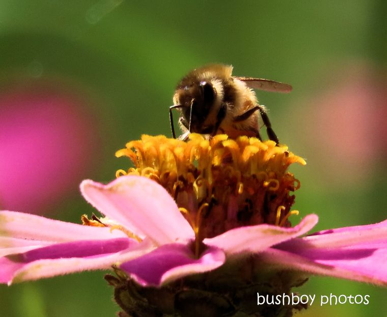 bee_zinnia_named_caniaba_april 2020