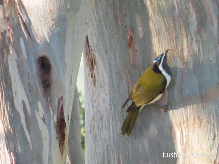 blue-faced honeyeater_eucalypt_garden_named_caniaba_april 2020