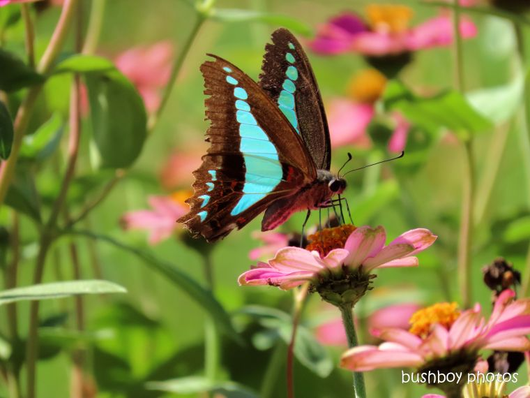 butterfly_blue triangle_zinnia_named_caniaba_april 2020