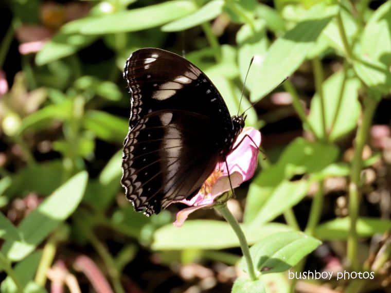 butterfly_common crow_zinnia_named_caniaba_april 2020