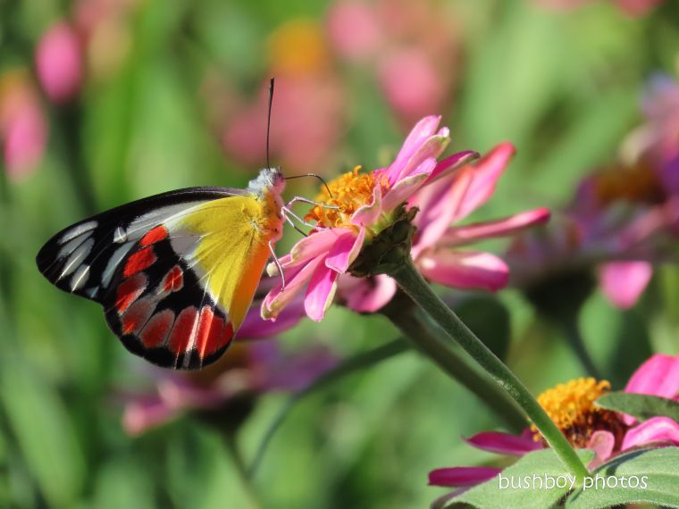 butterfly_scarlet jezebel_zinnia_named_caniaba_april 2020