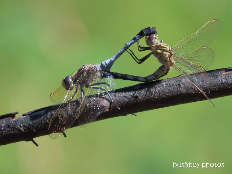 dragonflies_sex_durranbah_named_home_jackadgery_april 2020