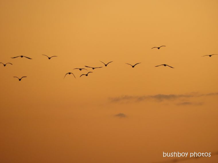 ibis_flying_sunset_orange_named_caniaba_april 2020
