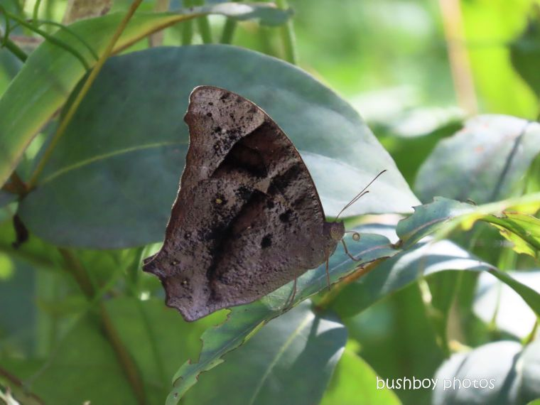 leafwing butterfly_named_home_jackadgery_april 2020