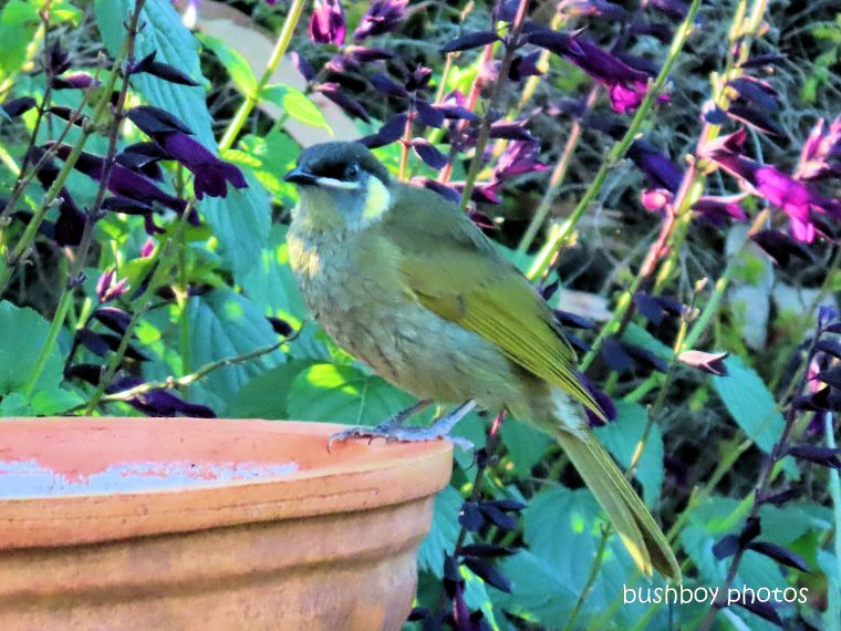 lewins honeyeater_bird bath_garden_named_caniaba_april 2020