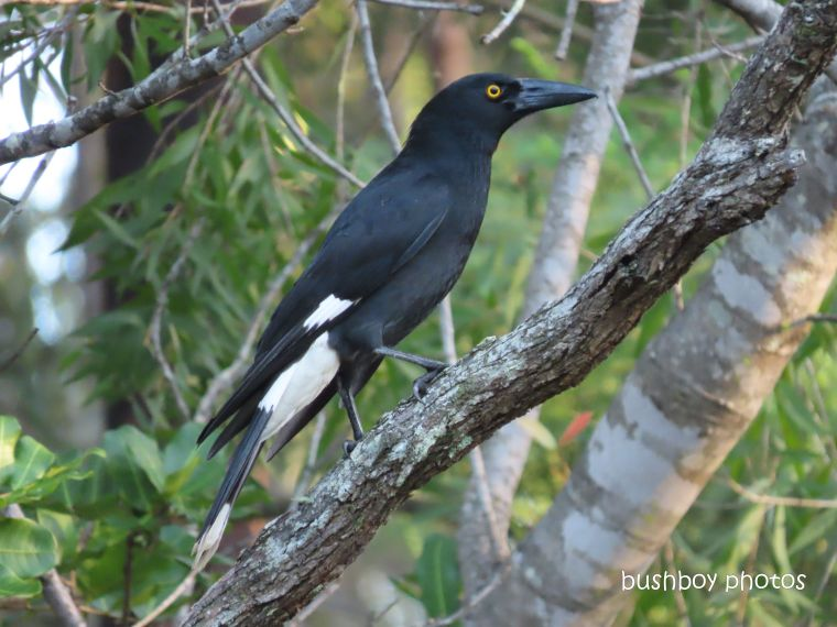 pied currawong_garden_tree_named_home_jackadgery_april 2020