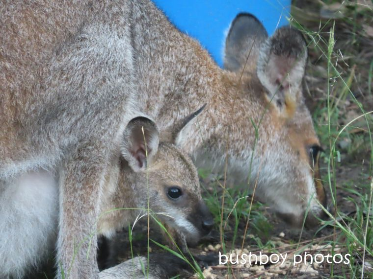 red-necked wallaby_joey_garden_home_jackadgery_april 2020