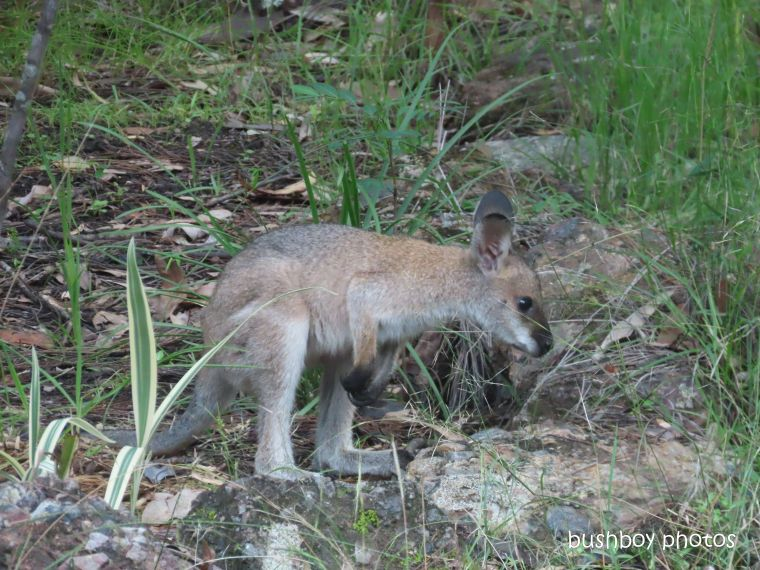red-necked wallaby_joey_named_home_jackadgery_april 2020