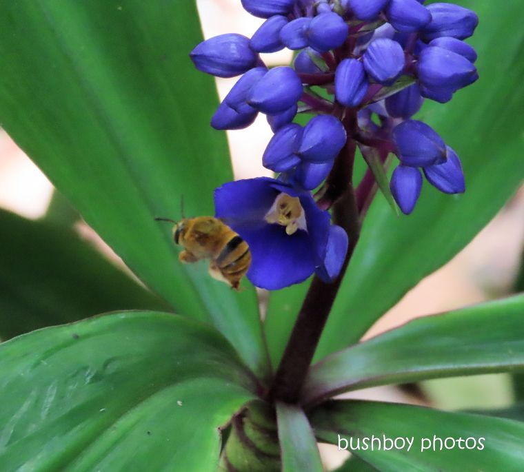 teddy bear bee_flying_blue ginger_flower_garden_named_home_jackadgery_april 2020